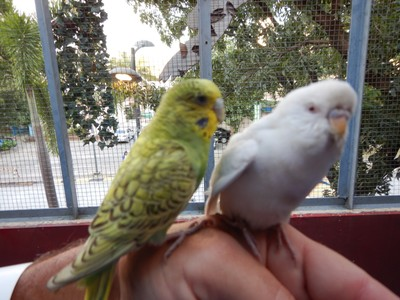 These budgies, called parakeets in the US, are native to Australia where they have lived for 70,000 years; the birdhouse was a small addition above the barnyard
