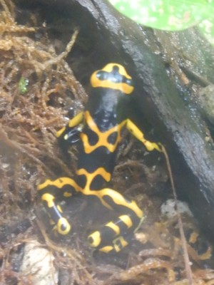 The yellow-banded poison dart frog is from northern South America; the bright coloration evolved as a warning to potential predators that it will make an unpalatable or toxic meal