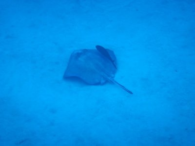 Cleaner fish accompanying a stingray along the sandy bottom