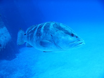 This is the resident Goliath grouper that lives at the wreck; he followed us around the ship perhaps thinking we would feed him