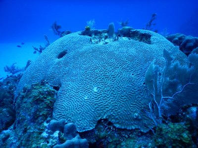 Giant brain coral; these can reach 6 feet high and are often a bright green