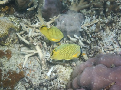 Latticed butterflyfish; wifi is practically non-existent here with even cell phone coverage spotty at best