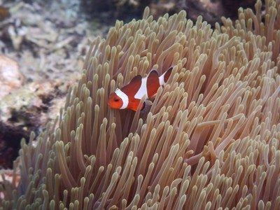 In Disney/Pixar's 2003 film Finding Nemo and its 2016 sequel Finding Dory, main characters Marlin and Nemo are clownfish; this sparked popularity of the species and greatly increased the amount of captured specimens