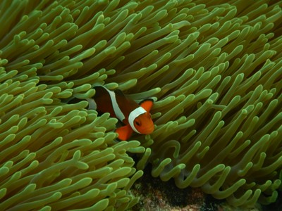Clownfish are very territorial and photogenic; they just don't stay still very long which can be difficult to capture