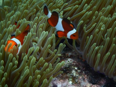 Clownfish have a symbiotic relationship with anemones and are even sometimes called anemonefish; clownfish are immune to the venom of anemones because they have a thick layer of mucus on the surface of their bodies