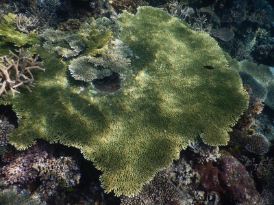 Huge green plate coral; the currency here is the Philippine peso with roughly 50 pesos for one US dollar