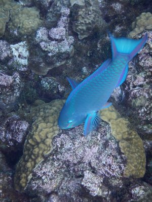 The parrot fish tended to stay towards the bottom making them tough to photograph; they eat the coral and excrete it as sand