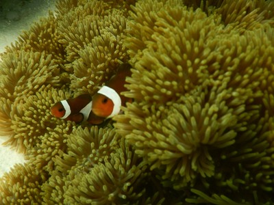 The sea anemone protects the clownfish from predators, as well as providing food through the scraps left from the anemone's meals and occasional dead anemone tentacles, and functions as a safe nest site
