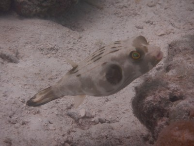 Narrow-line pufferfish; I was surprised at the number of Europeans visiting El Nido since I had expected the majority of visitors to be from Asia