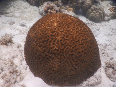 Brain coral; the lifespan of the largest brain corals is 900 years and colonies can grow as large as 1.8 m (6 ft) or more in height