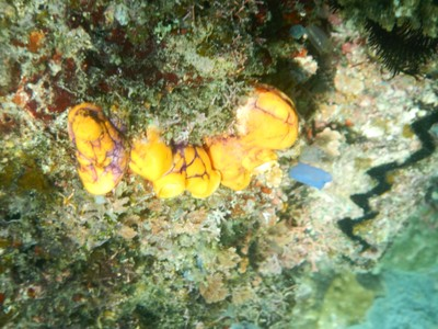Family of sea squirts; some scenes from the 2012 film The Bourne Legacy were filmed in El Nido