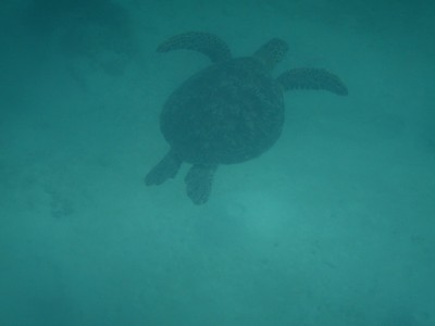 Finally, a turtle sighting!; El Nido has been a turtle sanctuary since 1984 but sightings now are not very common