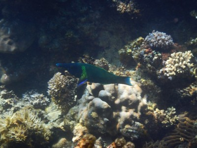 Green bird wrasse; Palawan has been voted as the world's best island two years in a row by Conde Nast Traveler