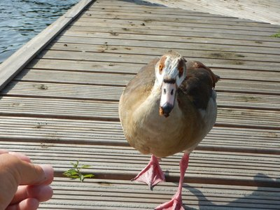 I had some raisin bread that I couldn't resist sharing with this goose; it got to where it would grab it from my fingers and let out a squawk that obviously told its mate that there was food