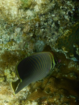 Eastern triangular butterflyfish; given the vibrant seascape I expected to see more fish than I did