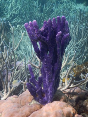 Purple finger coral reminds me of Thing from the Addams Family; I saw no other examples like this during my visit