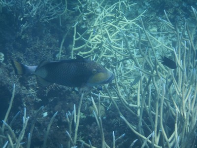 Titan triggerfish; I saw this species often but they were typically camera shy and would swim away as soon as I got close