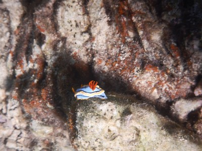 The vivid colors of a nudibranch signal its predators that the animal to be preyed upon has a toxin that may become distasteful when eaten; the potency of the toxin is not lethal but is primarily focused as a chemical defense mechanism