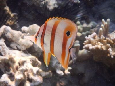 Copperband butterflyfish; many of my excursion mates had visited El Nido too and we all agreed that we preferred Coron for better scenery and smaller crowds