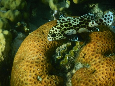 Spotted cod (aka coral trout); Coron is only about 50 miles north of El Nido