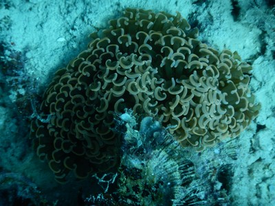 Anchor (aka hammer) coral; this coral has puffy tubular tentacles with T-shaped tips and is blue-gray to orange in color, sometimes with green on the tentacles
