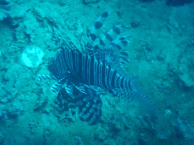 This HUGE lionfish was in the cargo hold of the Morazan Maru; it was one of only two lionfish I saw in Coron and I saw none in El Nido