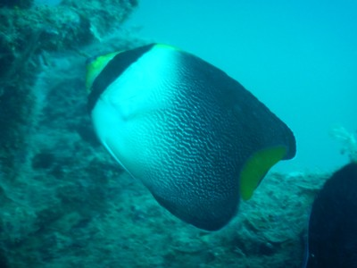 Vermiculated angelfish; often mistaken as a butterflyfish (that was my thought too) this species ranges from Japan south to Indonesia