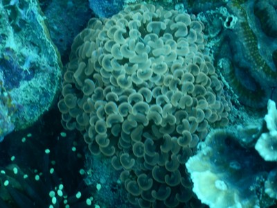 Anchor coral; this interesting species is threatened due to overharvesting for the aquarium trade and degradation or destruction of its habitat