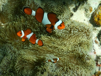 After Finding Nemo, global clownfish sales increased 40% fr the aquaria trade; the Philippines and Indonesia are the worlds top exporters of wild-caught marine fish, supplying 85% o the trade
