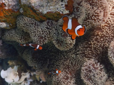 My camera seems to take great photos of clownfish but I can't get shots of other species that are as distinct; I wonder if the camera picks up the bright colors and then auto-focuses