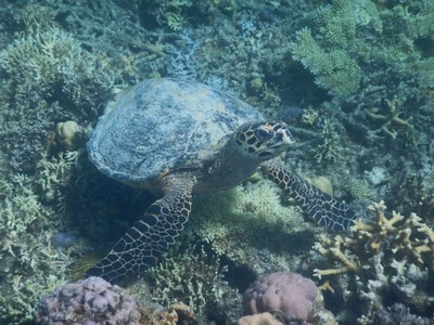 Large green sea turtle; there seems to be a great variety of coral species here while I saw the same fish species over and over again