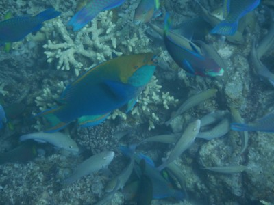 This colorful parrotfish was definitely the alpha in this group of fish as they were feeding; they were so loud you could actually hear them munching on the coral