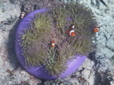 Finding Nemo made almost a billion dollars at the worldwide box office; since the film more than a million clownfish annually are taken from reefs for aquaria (400,000 shipped to the US)