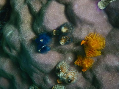 It's hard to imagine but these Christmas tree worms have a central brain, complete digestive system and a well-developed closed circulatory system