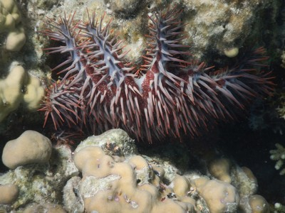 Crown of Thorns sea star; most locals wear second hand clothes which, for the guys, usually means a t-shirt or sports jersey with shorts and flip-flops