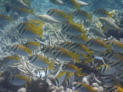School of porkfish; there are roosters everywhere in Coron as they are raised for cockfighting which is a huge event here; they could be heard at all hours