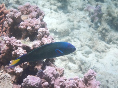 Crescent wrasse; the beaches are seldom sandy, but composed typically of rocks and/or coral debris; there are very few shells