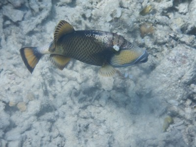 Titan triggerfish; in more than 2 weeks in the Philippines I have yet to see another American (and this is peak season)