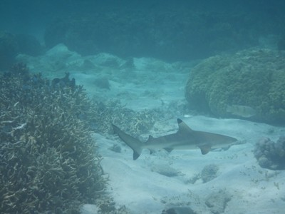 This juvenile black-tip reef shark was the only one I saw in Coron; on the boat we had been told that juveniles were sometimes spotted here but never adults