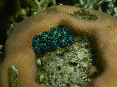 This clam decided to make its home right in the middle of coral; it is essential to wear watershoes here since there are vicious sea urchins and lots of sharp coral rubble