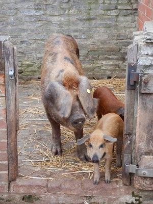 The Oxford sandy and black pig is one of the oldest pigs native to Britain; it's a hardy, docile pig but I'm not sure how the mama pig can see