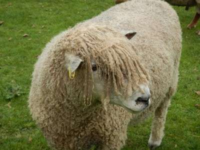 The relatively rare Cotswald sheep provides both meat and wool; I think this particular animal at Mary Arden's farm thought we were related since we have similar hairstyles