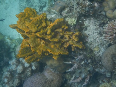 Mustard sponge; among the hundreds of trike drivers in Coron I saw not one female