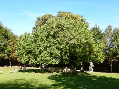 This mulberry tree, at Shakespeare's New Place, is believed to have been grown from a cutting of a tree Shakespeare planted; Shakespeare had one son named Hamnet (not Hamlet)
