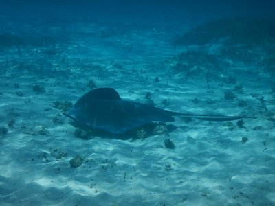 This stingray hung around for a couple of minutes but never got super close; I guess the millions of feet warned the stingrays away since I'm not aware of anyone getting stung