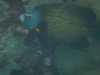 French angelfish; this is one Lee and I saw in Cabo but they grow to a huge size as I saw 2 days later