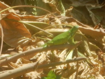Iguanas were common in the park; some of the smaller iguanas had bright blue tails but they were too fast to photograph