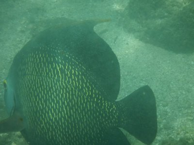 This was a huge French angelfish that was easily the largest fish I saw; it was also too large to get all in one photo