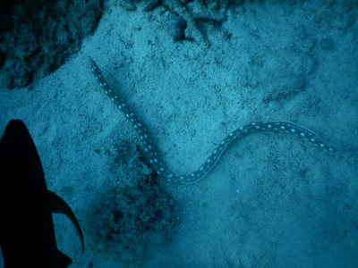 The sharptail snake-eel; these snakelike creatures are more benign than their aggressive relatives, the morays