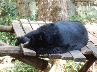 Asiatic moon bears live at a rescue center near the Tat Kuang Si Waterfalls; the bears have been confiscated from poachers who sell them for their precious bile